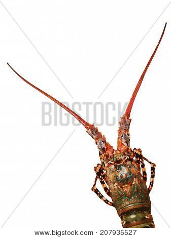 Fresh spiny lobster isolated on white background. seafood