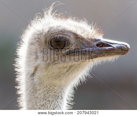 portrait of an ostrich . In the park in nature