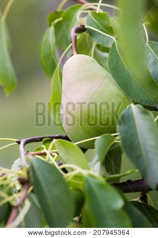 Ripe Pears On Tree Branch. Organic Pears In The Garden. Close Up View Of Pears Grow On Pear Tree Bra