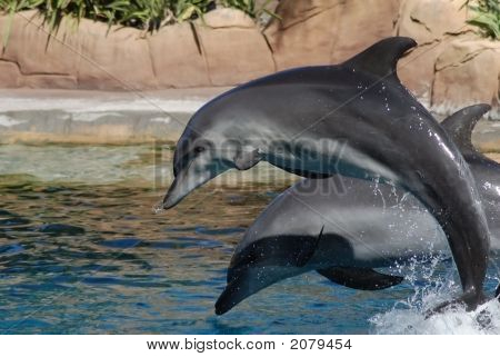 Two Playful Dolphins