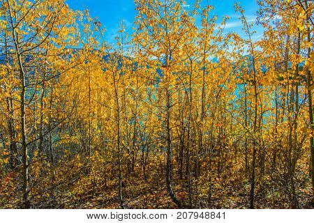 Rocky Mountains of Canada. Journey to the Golden Autumn. Aspen groves are flooded with an artificial Abraham Lake. The concept of active and ecological tourism