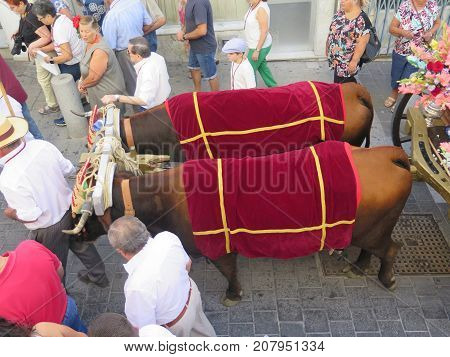 Two Cows Pulling Waggon At Local Village Festival