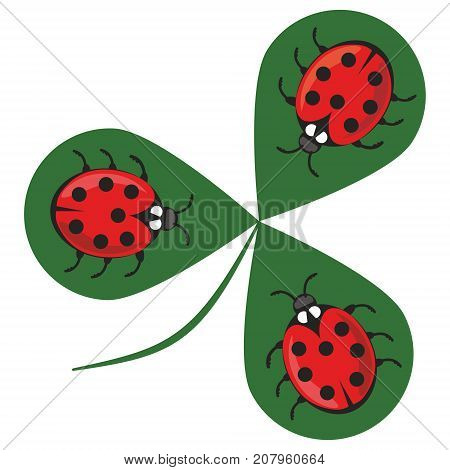 Shamrock wiht three ladybugs. Three little red beetles sitting on a green clover leaf. Beautiful cheerful illustration. Vector EPS 10