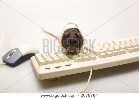 Black rat with a mouse and the keyboard poster