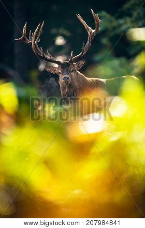 Red Deer Stag (cervus Elaphus) Behind Ferns In Autmn Forest.