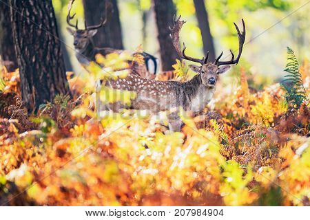 Fallow Deer Buck (dama Dama) Between Ferns In Autumn Forest.