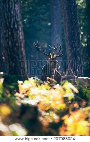 Red Deer Stag (cervus Elaphus) With Ferns In Antlers In Autumn Forest.