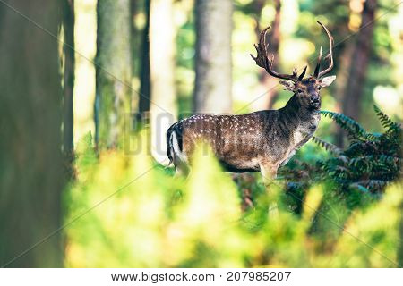Fallow Deer Buck In Ferns In Forest.