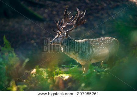 Fallow Deer Buck (dama Dama) In Ferns Of Forest.
