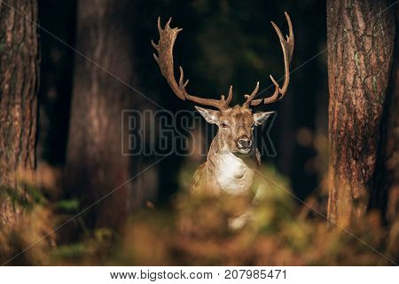 Fallow Deer Buck (dama Dama) Between Pine Trunks Lit By Sunlight.
