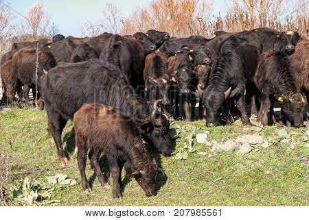 Buffaloes at the area of Prespes lakes in Greece