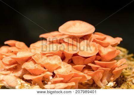 Pleurotus djamor mushrooms grow on substrate