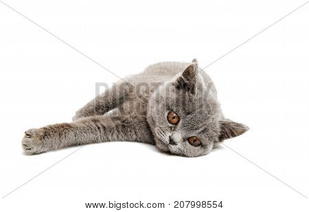 gray kitten shorthair isolated on white background