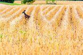 Female deer (odocoileus virginianus) running through a field of soybeans poster