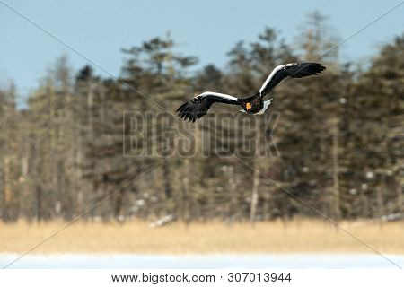 Steller's sea eagle in flight, Hokkaido, Japan, majestic sea raptors with big claws and beaks, wildlife scene from nature,birding adventure in Asia,beautiful winter scenery with flying bird poster