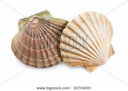 Scallops Shells