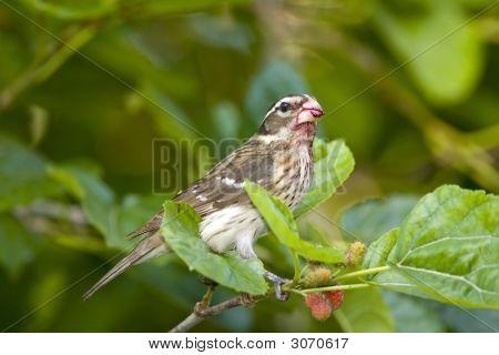 Female Rose-Brested Grosbeak Perched