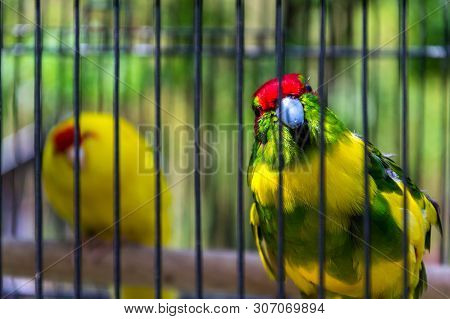 Red-crowned Parakeet Or Red-fronted Parakeet, Kakariki Parrot From New Zealand In Cage