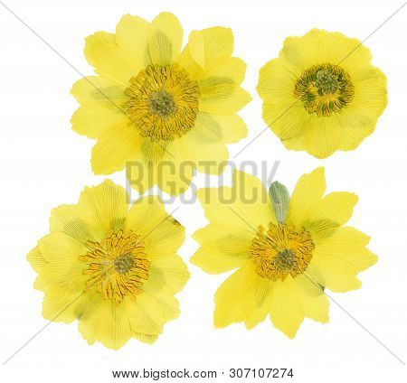 Pressed And Dried Flowers Adonis, Isolated On White Background. For Use In Scrapbooking, Pressed Flo
