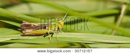 A Grasshopper On The Grass