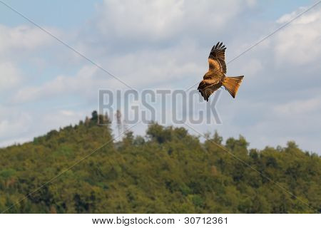 A Long-legged Buzzard