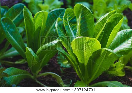 Green Cos Lettuce Or Cos Romaine Lettuce On Healthy  Vegetables Salad  Food Nature Background