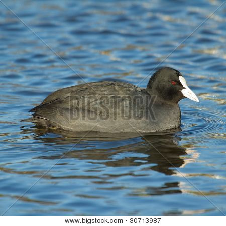 A Common Coot In The Water