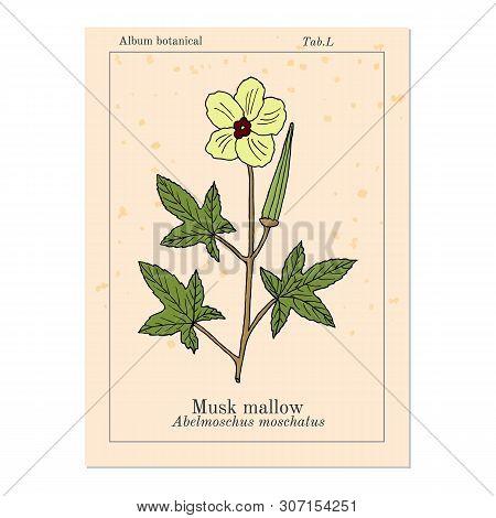 Musk Mallow Abelmoschus Moschatus , Medicinal Plant. Hand Drawn Botanical Vector Illustration
