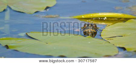 A European Pond Terrapin