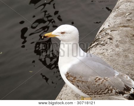 an image of seagull searching for food poster