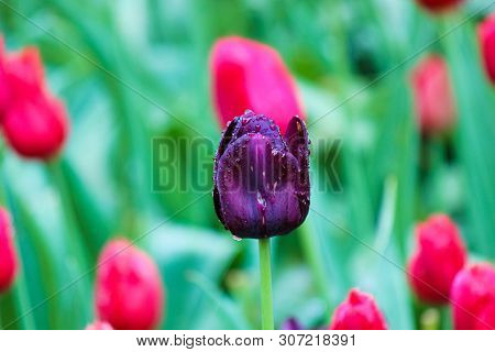 Black Tulip Detail. The Tulip Was Affected By Flower Disease. Fungi, Fungal, Botrytis, Mycelial Dise