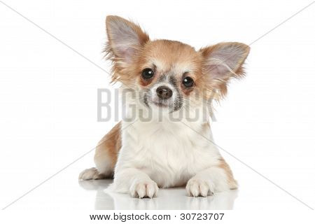 Long coat chihuahua puppy on a white background poster