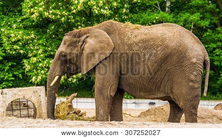 Tusked African Elephant Playing With Some Grass And Putting It On Its Back, Vulnerable Animal Specie