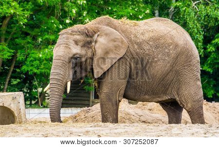 Closeup Of A Tusked African Elephant With Grass On Its Back, Vulnerable Animal Specie From Africa