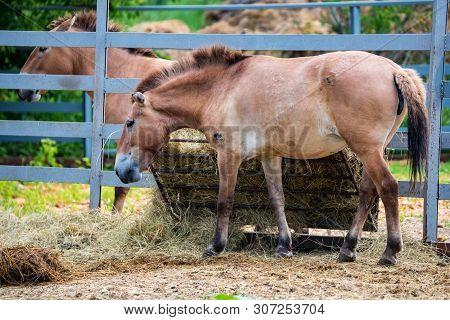 Przewalskis Horse Or Equus Ferus Przewalskii In Captivity Side View