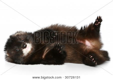 Ferret Has A Rest On A White Background