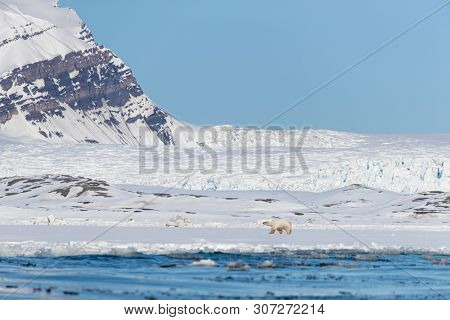 Polar bear walks against a backdrop of snowy mountains, along the edge of the fast ice in Yoldiabukta, a bay in Nordfjorden, Svalbard, a Norwegian archipelago between Norway and the North Pole.