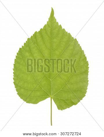 Green Leaf Of Linden Or Tilia, Commonly Called Lime Trees, Or Lime Bushes Of The Family Tiliaceae Or