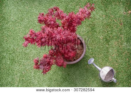 Japanese Maple - Acer Palmatum - Tree And Water Can On A Synthetic Grass Terrace Top View