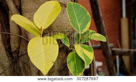 Many Small Fruits Of Ficus Microcarpa, Chinese Banyan, Indian Laurel, Malayan Banyan, Curtain Fig On