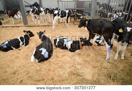 Kaliningrad Region, Russia - May 28, 2019: Calfs Of The  Holstein-friesian Breed In A Farm