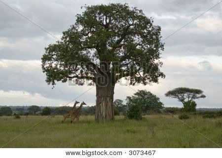 Baobab und Giraffe