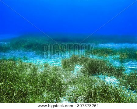 Underwaterphoto Of Seagrass Landscape From A Scuba Dive At Gran Canaria In Spain.