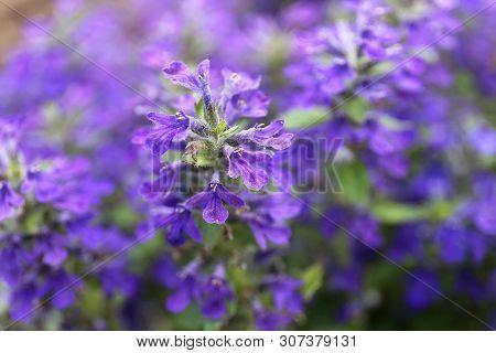 Macro Closeup On Purple Ajuga