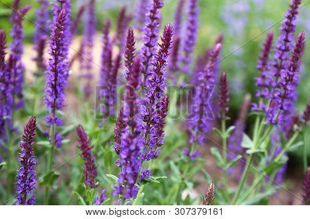 Garden Full Of Purple May Night Salvia Meadow Sage Flowers