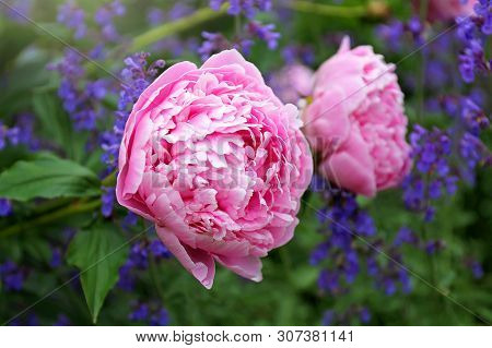 Huge Light Pink Blooms Of Sarah Bernhardt Peony Flower And Purple Catmint In Spring Garden