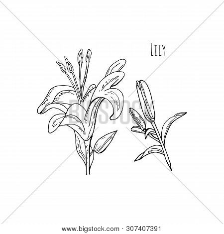 Black And White Contour Lily Flower And Bud On White Background.