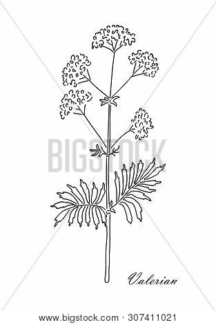 Valerian Herb Isolated On White Background. Line Art Style.