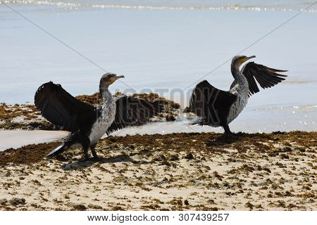 Cape Cormorant Pair With Wings Spread (phalacrocorax Capensis), Mossel Bay, South Africa