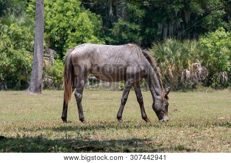 A Wild Horse Grazing At Cumberland Island National Seashore.